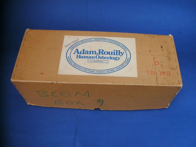 Vintage Adam Rouilly half medical real human skeleton in box