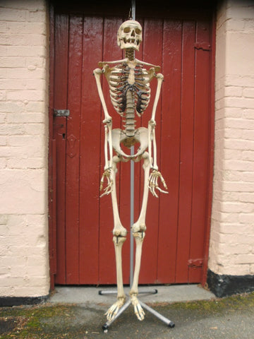 Antique and articulated real full human medical skeleton excellent condition.