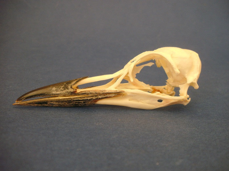 Guillemot skull side view