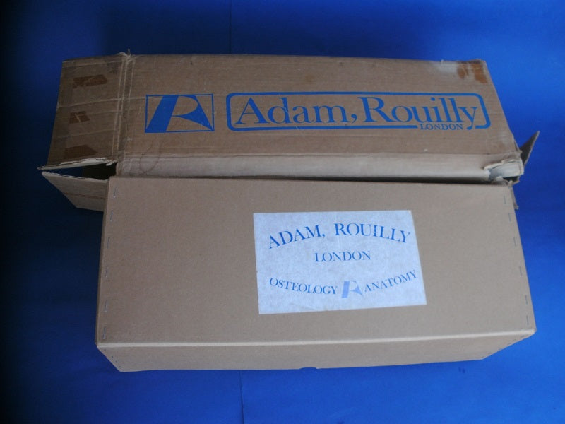 Vintage Adam Rouilly real human medical half skeleton in box for sale