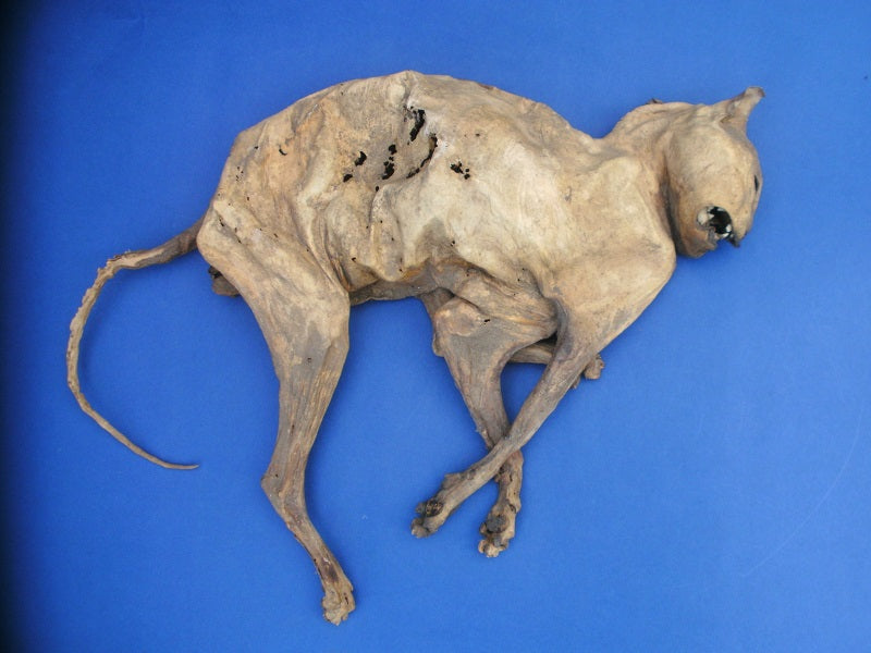 Macabre 18th Century mummified cat ward against witchcraft