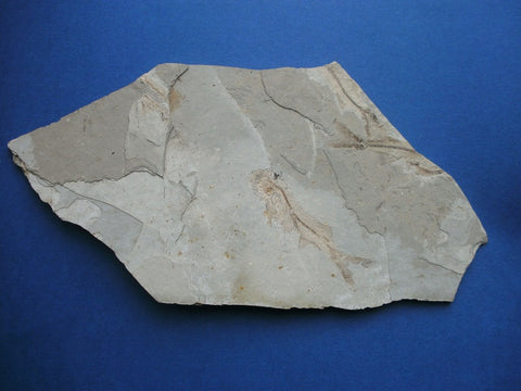 Fossil fish Lycoptera sp. from China
