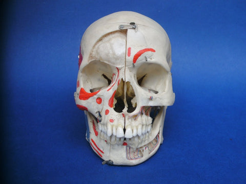 Rudiger Anatomie real human medical demonstration skull.