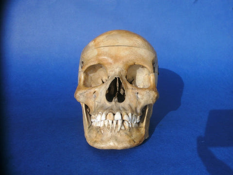 Antique medical / dental real human skull perfect condition
