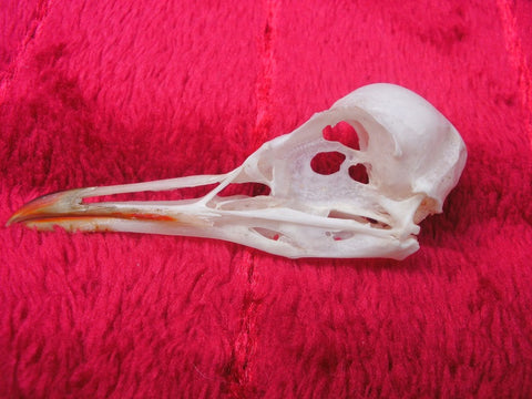 Black headed gull skull 3 (Chroicocephalus ridibundus)