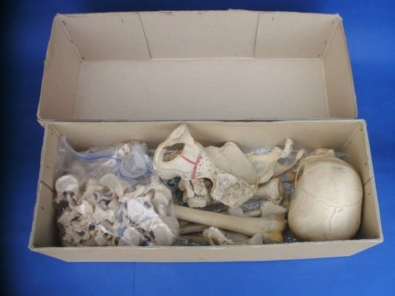 Real human annotated medical skeleton in box for sale