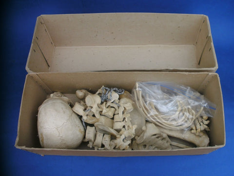 Real human medical half skeleton in box