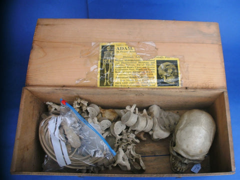 Antique real human medical complete half skeleton in box Adam Rouilly