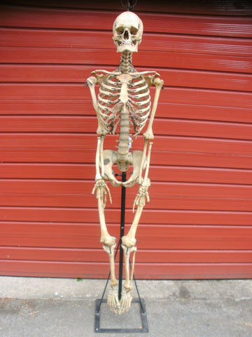 Antique Adam Rouilly articulated real full human medical skeleton