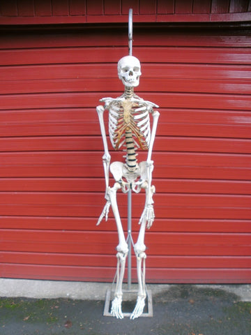 Antique articulated full skeleton medical specimen in excellent condition.