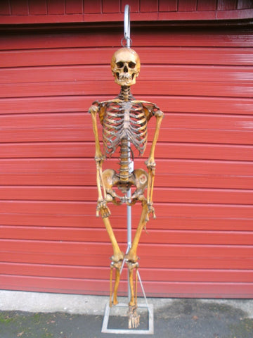Antique full articulated real human skeleton medical specimen.