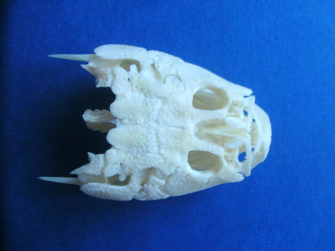 Stargazer (Uranoscopus sp) fish skull.