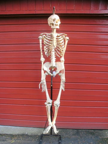 Antique Adam Rouilly real full human medical skeleton