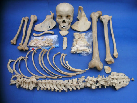 Real human half skeleton medical specimen