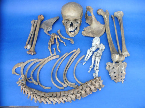 Very early antique half medical real human skeleton