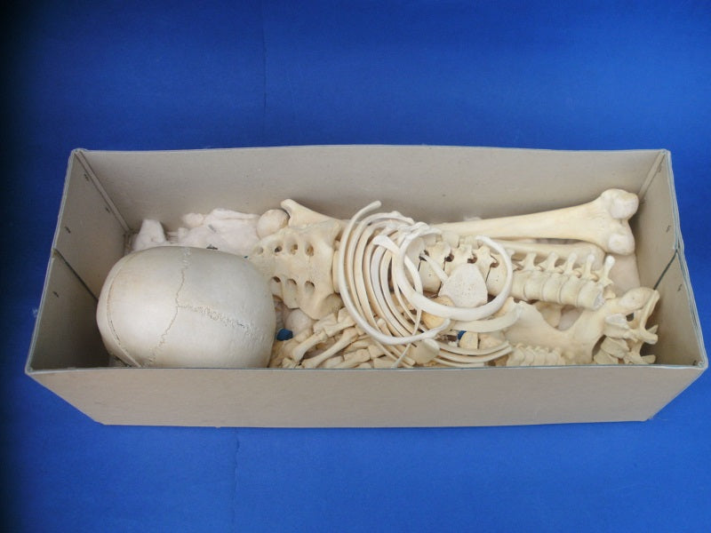 Real human half medical skeleton in box for sale