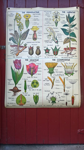 Vintage school double sided biology poster Four flower types, The potato and Wheat.