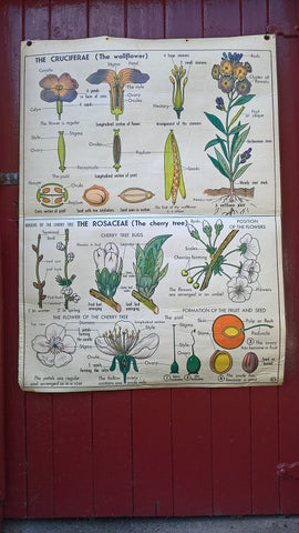 Vintage school double sided biology poster The Wallflower, The Cherry tree, The buttercup and The carrot.