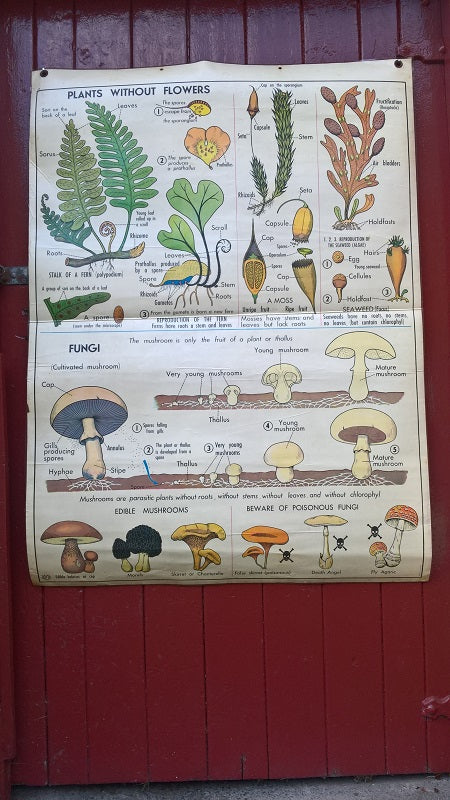 Vintage school double sided biology poster Plants without flowers, fungi, the oak and vegetative reproduction.