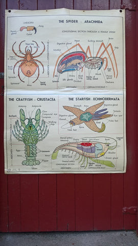 Vintage school double sided biology poster The spider, the crayfish, the starfish, protozoa, annelida and mollusca.