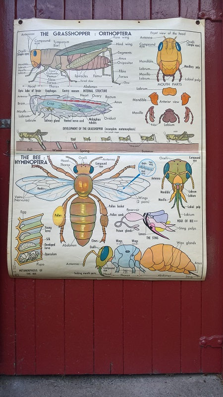 Vintage school double sided biology poster The grasshopper, the bee, the insects and the insectivores