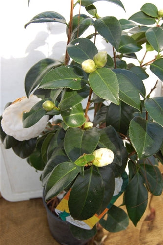 Camellia Japonica 'White By The Gate' (3 gal)