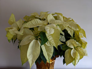 "10"" White Poinsettia"