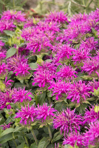 "Bee Balm Monarda ""Balmy Purple"" (1 Gallon)"