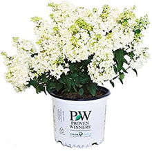 "Load image into Gallery viewer, Hydrangea ""Bobo"" (3 Gal)"