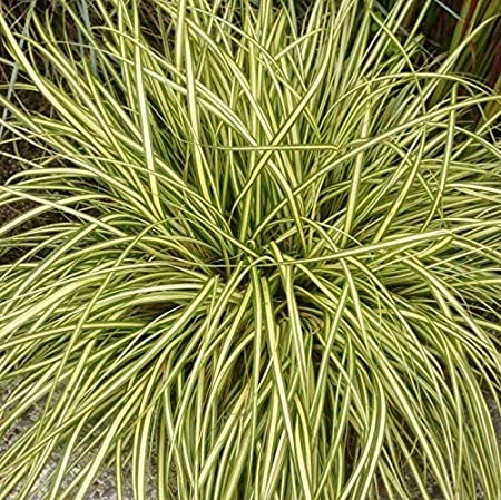 Carex Oshimensis Sedge 'Evergold'