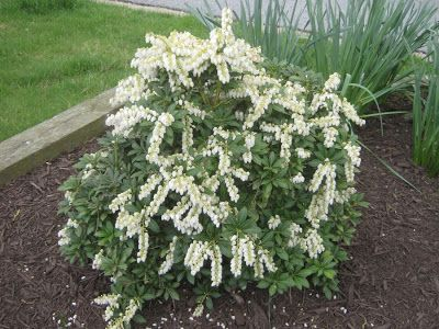 Pieris Japonica 'Mountain Snow' Japanese Pieris