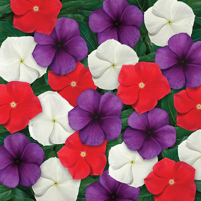 Vinca American Pie Mix (4.5 in) (Per Flat - 10plants)