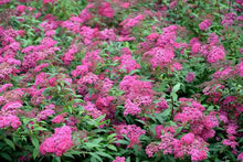 Load image into Gallery viewer, Spiraea 'Anthony Waterer' (3 gal)