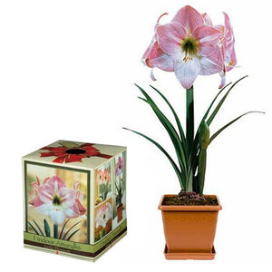 Amaryllis Apple Blossom Growing Kit