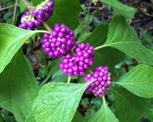 "Load image into Gallery viewer, Callicarpa Americana ""American Beautyberry"" (3 gallon)"