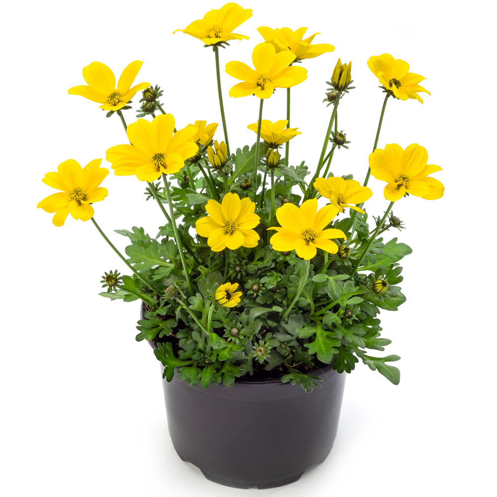 Bidens Golden Empire 6 inch
