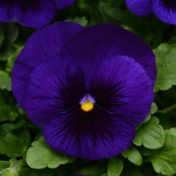 Pansy Blue Blotch 6 inch (Per Flat - 6 plants)