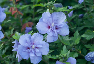 Hibiscus Syriacus Blue Chiffon - Rose of Sharon (2 gallon)