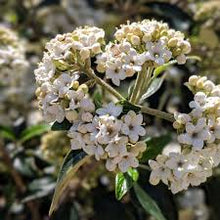 Load image into Gallery viewer, Viburnum Awabuki 'Chindo'