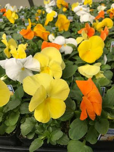 Pansy Citrus Mix 4 inch (Per Flat - 18 plants)