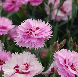 "Dianthus ""Everlast Lavender+Eye Pinks"" (1 gal)"