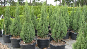 "Juniperus Chinensis ""Blue Point"""