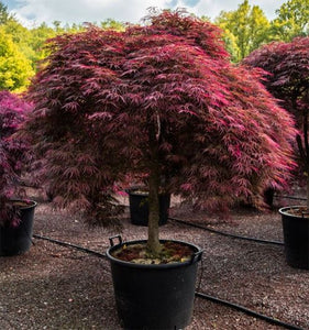 Acer Palmatum 'Tamukeyama' Japanese Maple (7 gallon)
