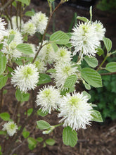 Load image into Gallery viewer, Fothergilla 'Mount Airy' (3 gal)