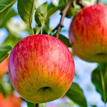 "Load image into Gallery viewer, Malus Pumila ""Fuji"" Apple Tree"