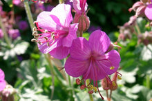 "Load image into Gallery viewer, Geranium ""Bevan's Variety"" (1 gallon)"