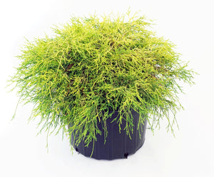 "Chamaecyparis Pisifera ""Paul's Gold"" (3 Gallon)"