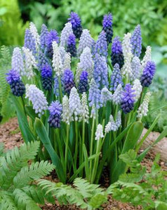 Grape Hyacinths Muscari Delft Blue Mixture Bulb (20 Pack)