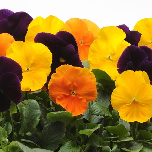 Pansy Harvest Mix 6 inch (Per Flat - 6 plants)