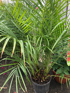 "Palm tree - palm tree 'Pygmy Date Palm' - 10"" container"